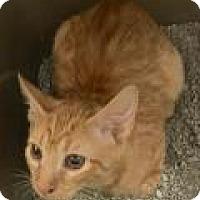 Domestic Shorthair Kitten for adoption in Columbus, Georgia - Winston 0825