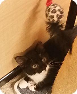 American Shorthair Kitten for adoption in Morganville, New Jersey - Munchie