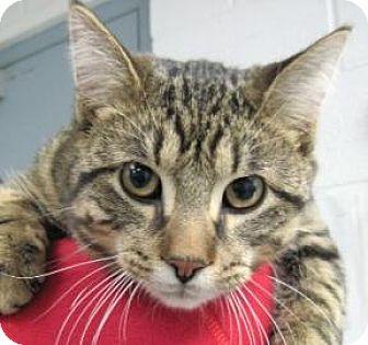 Domestic Shorthair Cat for adoption in Adrian, Michigan - Skit