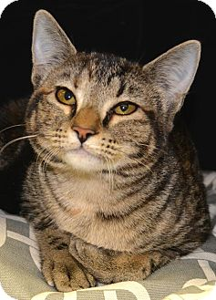 Domestic Shorthair Cat for adoption in Horn Lake, Mississippi - Hermione Granger