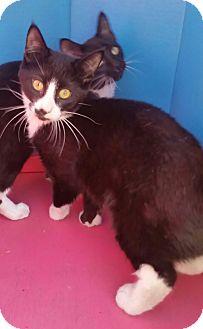 Domestic Shorthair Kitten for adoption in Ocala, Florida - SIMON