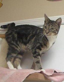 Domestic Shorthair Cat for adoption in Americus, Georgia - Cocoa
