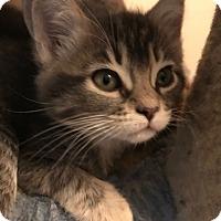 Adopt A Pet :: Silver Belle - Valley Center, CA