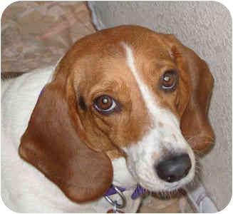 Basset Hound/Beagle Mix Dog for adoption in Phoenix, Arizona - Miranda