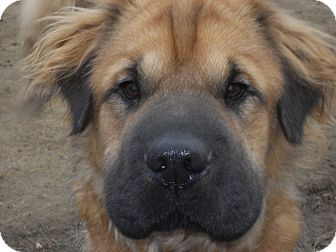 Shar Pei/Shepherd (Unknown Type) Mix Dog for adoption in Newport, Vermont - Meatloaf