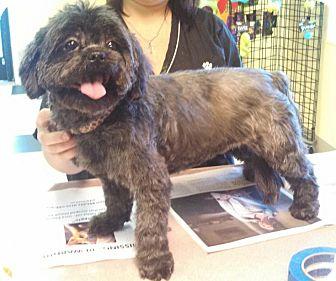 Shih Tzu Mix Dog for adoption in Richmond, Virginia - Kiki