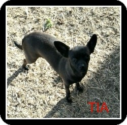 Chihuahua Mix Dog for adoption in Mesa, Arizona - Tia