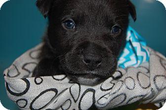 Labrador Retriever/German Shepherd Dog Mix Puppy for adoption in Moosup, Connecticut - LUKE