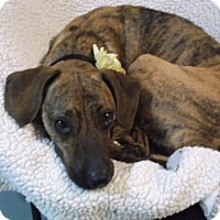 Adopt A Pet :: Margeaux - Foster, RI