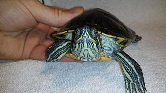 Turtle - Other for adoption in Pefferlaw, Ontario - Squirt