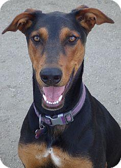 Doberman Pinscher Mix Dog for adoption in Quail Valley, California - Contessa (Tessa)