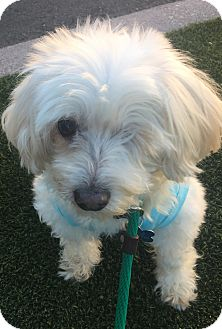 Maltese/Poodle (Miniature) Mix Dog for adoption in Los Angeles, California - Nala