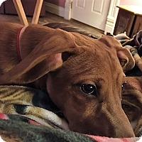 Dachshund Mix Dog for adoption in Warrenton, Missouri - Jax