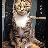 Adopt A Pet :: Peach - Hartford City, IN