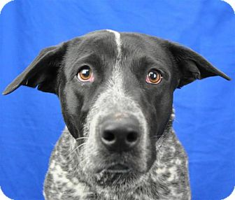 Australian Cattle Dog/Pointer Mix Dog for adoption in Pagosa Springs, Colorado - Mack