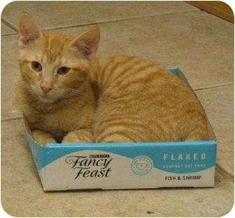 Domestic Shorthair Kitten for adoption in Metairie, Louisiana - Sunny