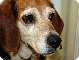 Beagle Dog for adoption in Waldorf, Maryland - Riley Hughes