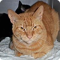 Adopt A Pet :: Nikki - bloomfield, NJ