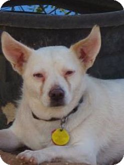 Chihuahua Mix Dog for adoption in Las Cruces, New Mexico - Leo
