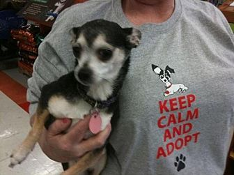 Chihuahua Dog for adoption in Fort Worth, Texas - Roxy