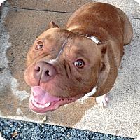 Adopt A Pet :: Puma - Reisterstown, MD
