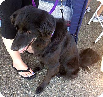 Border Collie/Australian Shepherd Mix Dog for adoption in West Richland, Washington - Sadie