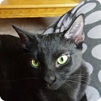 Bombay Cat for adoption in Mesa, Arizona - Elvira