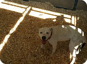 American Pit Bull Terrier Mix Dog for adoption in Livingston Parish, Louisiana - Baby