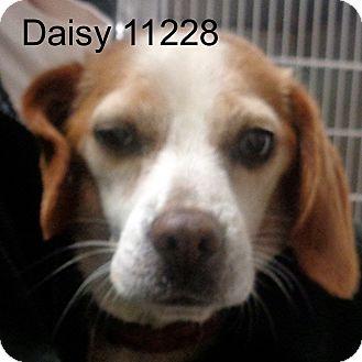 Beagle Dog for adoption in Manassas, Virginia - Daisy
