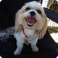 Yorkie, Yorkshire Terrier/Shih Tzu Mix Dog for adoption in Los Angeles, California - YAYA