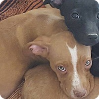 Adopt A Pet :: Willow - Las Cruces, NM
