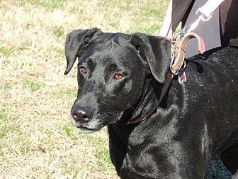 Labrador Retriever Dog for adoption in Sussex, New Jersey - STAR