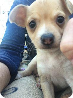 Chihuahua/Corgi Mix Puppy for adoption in Gilbert, Arizona - Tori