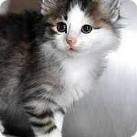 Adopt A Pet :: Puddle - Fort Leavenworth, KS