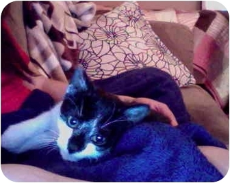 Domestic Shorthair Kitten for adoption in New York, New York - Chewy
