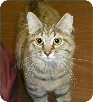 Domestic Mediumhair Cat for adoption in Chesapeake, Virginia - Xavi