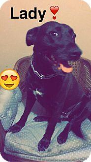 Labrador Retriever/German Shepherd Dog Mix Dog for adoption in cleveland, Ohio - Lady
