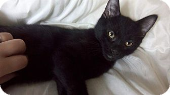 Domestic Shorthair Kitten for adoption in Columbus, Ohio - Kuro