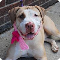 Adopt A Pet :: Suri - Prospect, CT