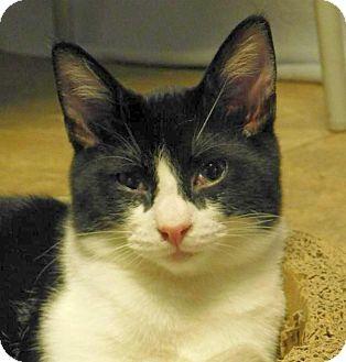 Domestic Shorthair Cat for adoption in Winston-Salem, North Carolina - Bobby Flay