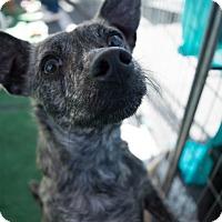 Adopt A Pet :: Rudy Valentino - Reno, NV