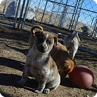 Adopt A Pet :: Ellie - Peyton, CO