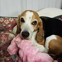 Adopt A Pet :: Sylvester - Pottsville, PA
