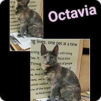 Adopt A Pet :: Octavia - North Richland Hills, TX
