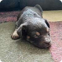 Adopt A Pet :: Pressley - Loveland, OH