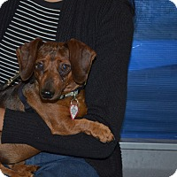 Dachshund Mix Dog for adoption in Lodi, California - Yoshi