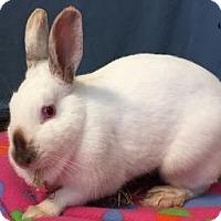 Adopt A Pet :: Amelia - Woburn, MA