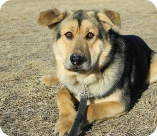 Shepherd (Unknown Type)/Siberian Husky Mix Dog for adoption in Cheyenne, Wyoming - Chief