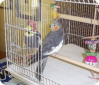 Cockatiel for adoption in Concord, California - Bobbin