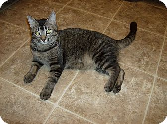 Abyssinian Cat for adoption in Scottsdale, Arizona - Biggles (courtesy post)